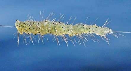 Spiny Waterflea